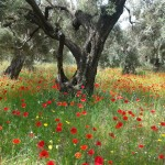 Olive Groves Hiking Lefkada